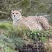 ROG_7619b Cheetah