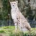 ROG_7589b Cheetah