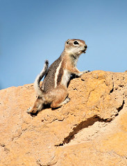 Antelope ground squirrel