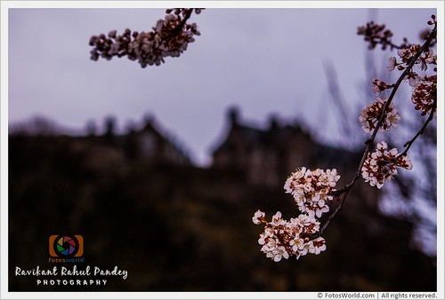 Cherry-Blossoms-in-Princes-Street-Gardens-and-Edinburgh-Castle-in-the-background-Sign-of-spring-Edinburgh-Scotland-180407-174529