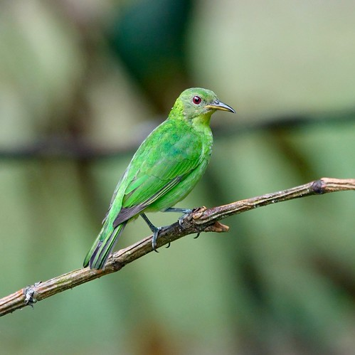 Green honeycreeper (female)