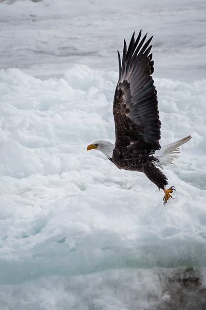 American Bald Eagle - liftoff from the frozen river