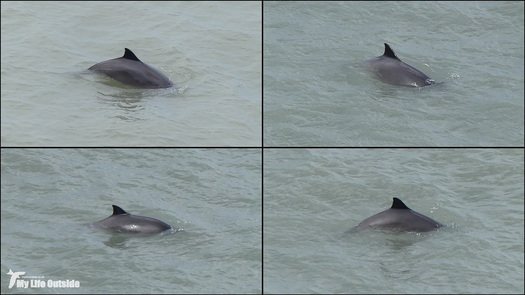 Harbour Porpoise, Gower