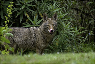 urban coyote | by Christian Hunold
