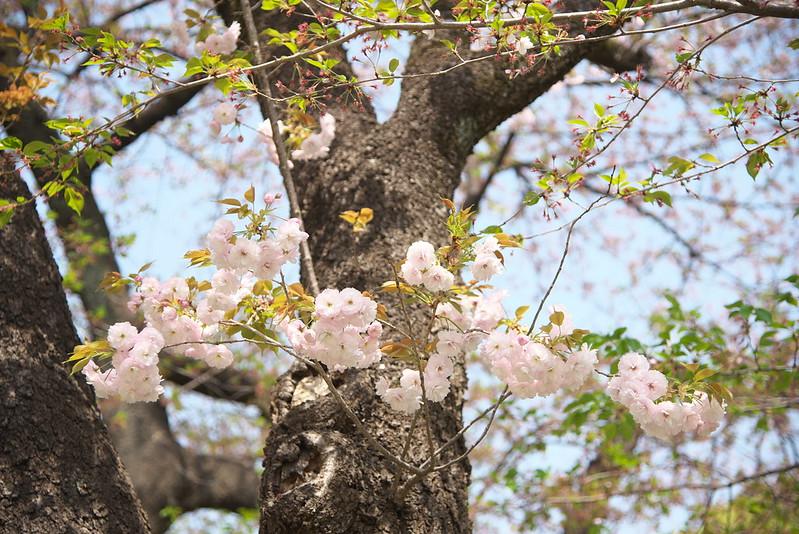 上野公園の八重桜