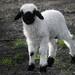 am I the black sheep? by pepinohd