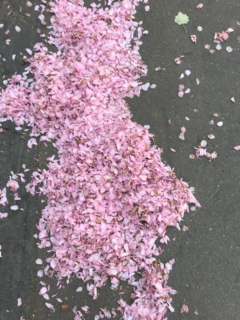 Cherry blossoms petals blown by the wind