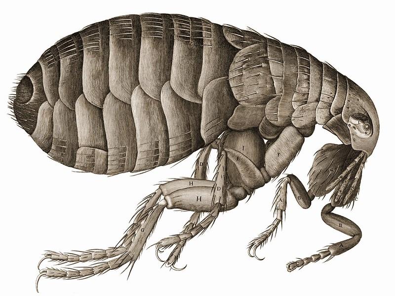 Figure 1 Hooke flea