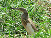 Squacco heron (Ardeola ralloides) , Abuko, The Gambia by Frans.Sellies