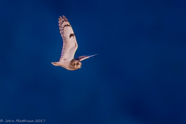 Short-eared Owl-6848.jpg, Canon EOS 7D MARK II, Canon EF 600mm f/4L IS