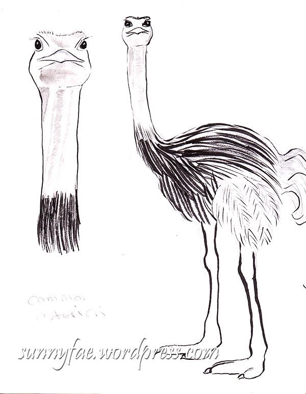 Common Ostrich sketch