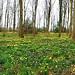 Ox Lodge Wood, Gorsley Goffs -  daffodils