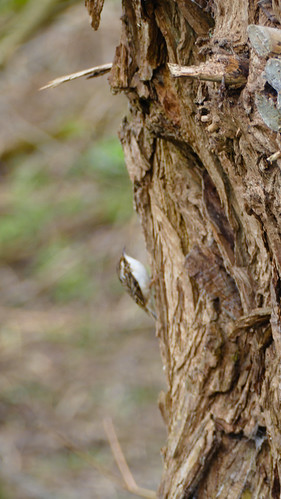 Treecreeper on willow tree