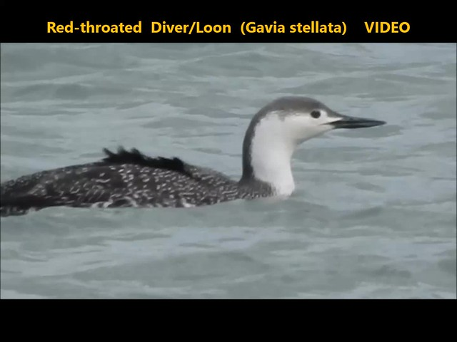 Red-throated Diver-Loon (Gavia stellata) . . VIDEO