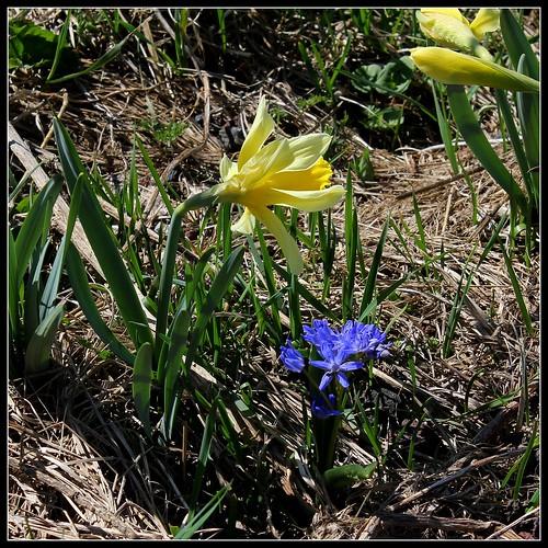 Scilla bifolia - scille à deux feuilles 40714483675_4ba71c4602