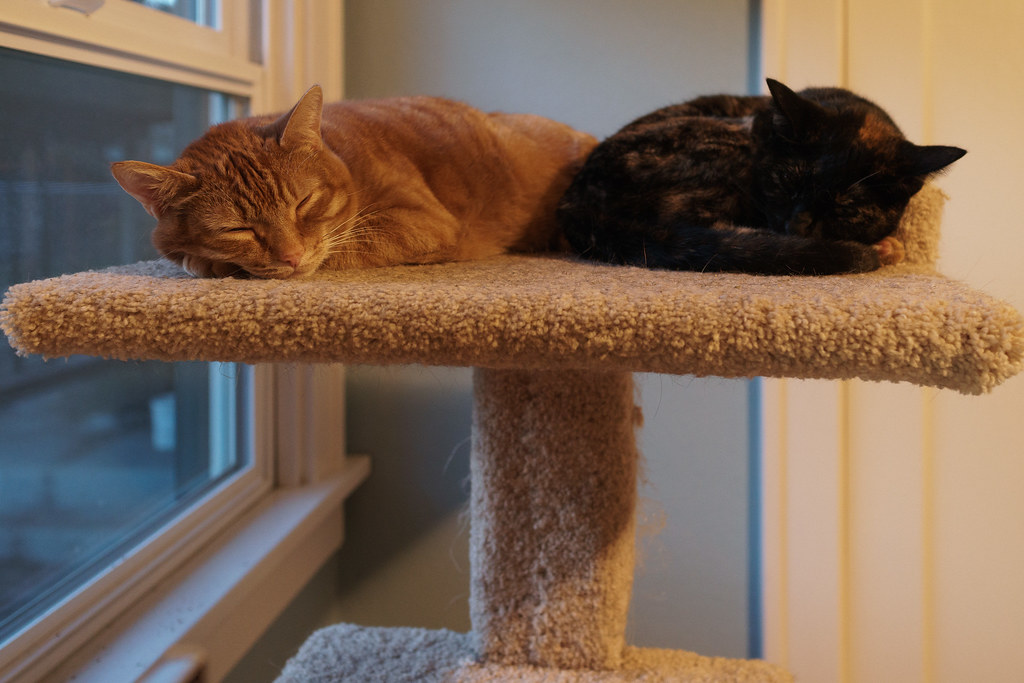 Our cats Sam and Trixie sleep side-by-side atop the cat tree in my office