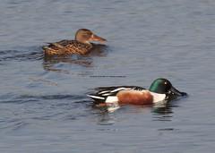 HolderNorthern Shoveler Duck (Anas Clypeata) 7.4.2011 (1)