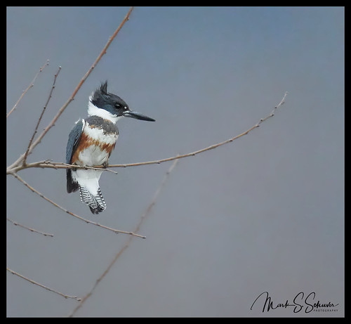 Belted Kingfisher at Eagle Bluffs Conservation Area - No 2