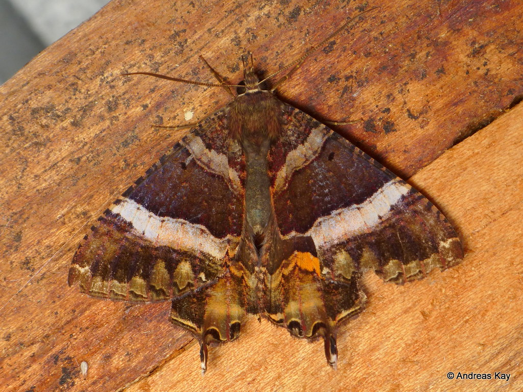 American Swallowtail, Coronidia leachii, Sematuridae