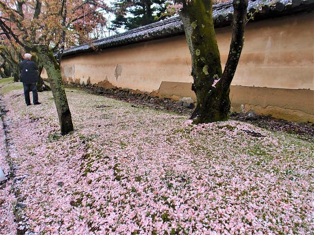 daigoji-sakura011