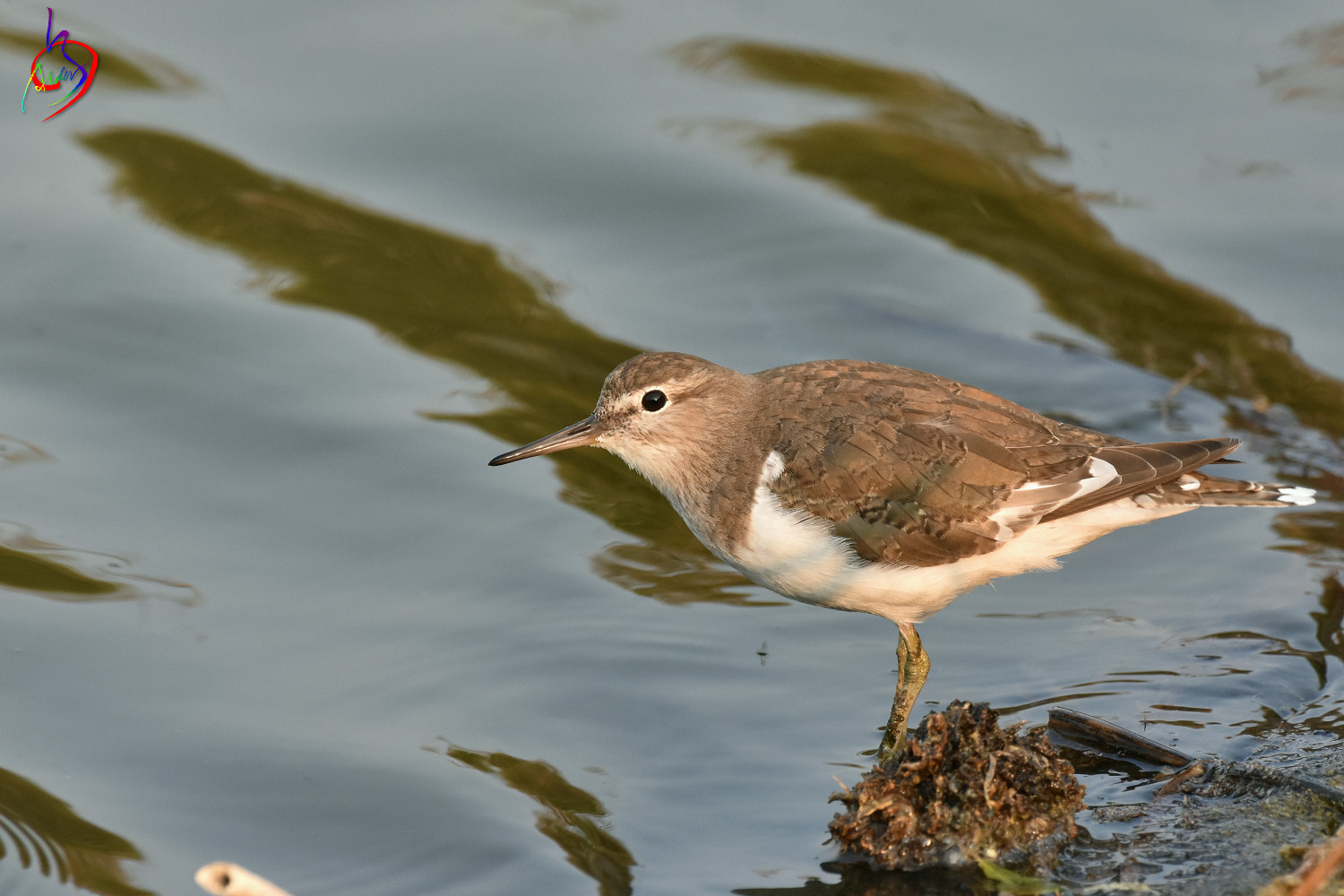 Common_Sandpiper_3926