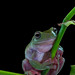 Indonesian white tree frog