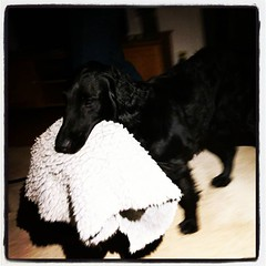 Extremt klappvänlig hund, med badrumsmatta i munnen. What's up with that, liksom? Pisk, pisk, pisk, med svansen som går som en propeller.