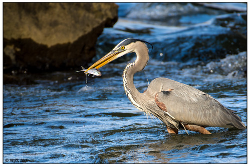 Great Blue Heron with Shad DSC_4825a