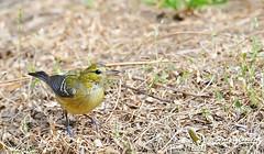 Bay-breasted warbler - Paruline à poitrine baie - Reinita castaña - Setophaga castanea