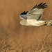 Northern Harrier (Male) by Photosequence