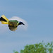 green jay in flight by Uncle Tee TX