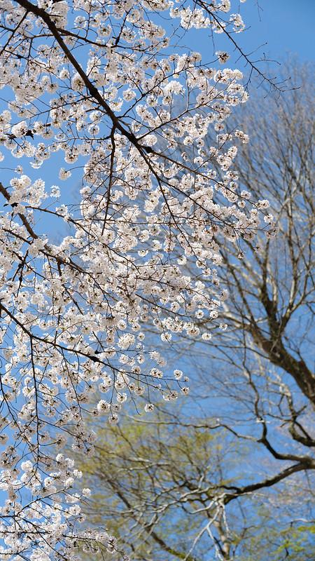 Sakura hanging picture