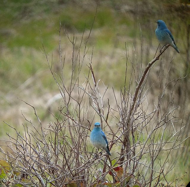 mountain bluebird, Maplewood Flats