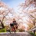 sakura '18 - cherry blossoms #6 (Kamigamo, Kyoto) by Marser