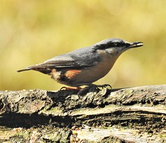 Nuthatch with Seed - Thornley Hide