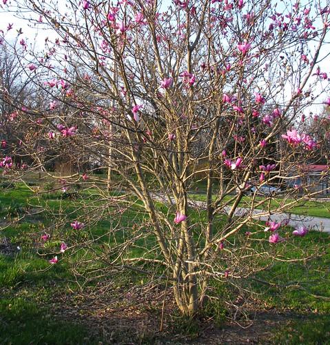 'Jane' magnolia