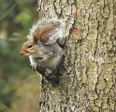 Grey Squirrel - Lookout Duties