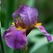Iris at  Zilker by jim_mcculloch