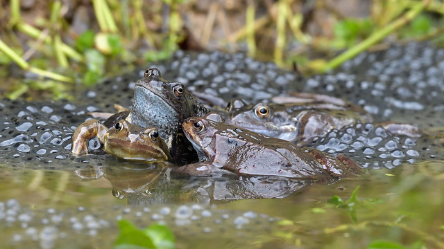Common Frog (image 1 of 3)