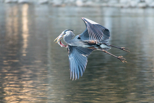 blue_heron_with_fish-20180328-103