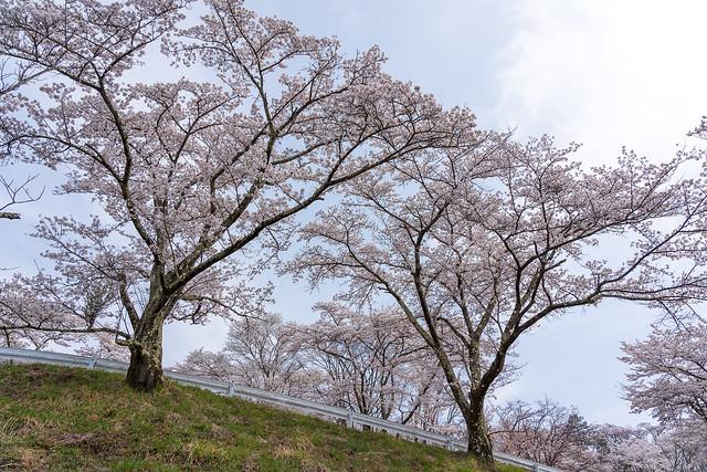 ソメイヨシノ咲く蓑山山頂