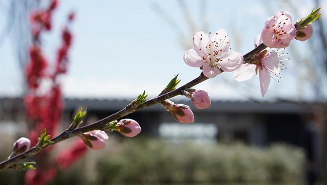 DSC07384花菜ガーデン
