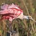 Roseate Spoonbill (Ron Cooper)