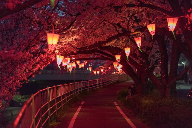 CherryBlossoms_33