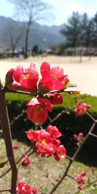 화북초등학교 봄날풍경(산당화.명자나무)