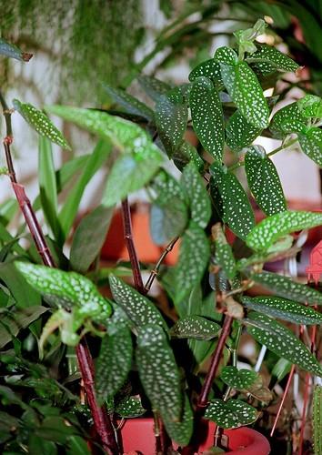 Begonia maculata et horticoles - bégonia bambou 40777201302_6dbaacb9d5