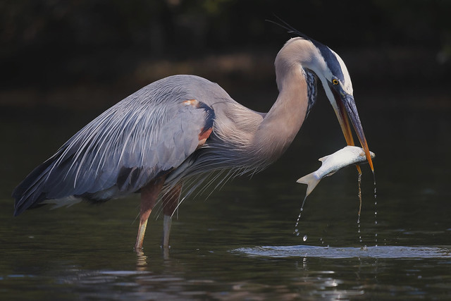 Fishing Skills - Great Blue Heron