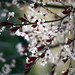 Blossoms, crimson & white