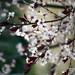 Blossoms, crimson & white