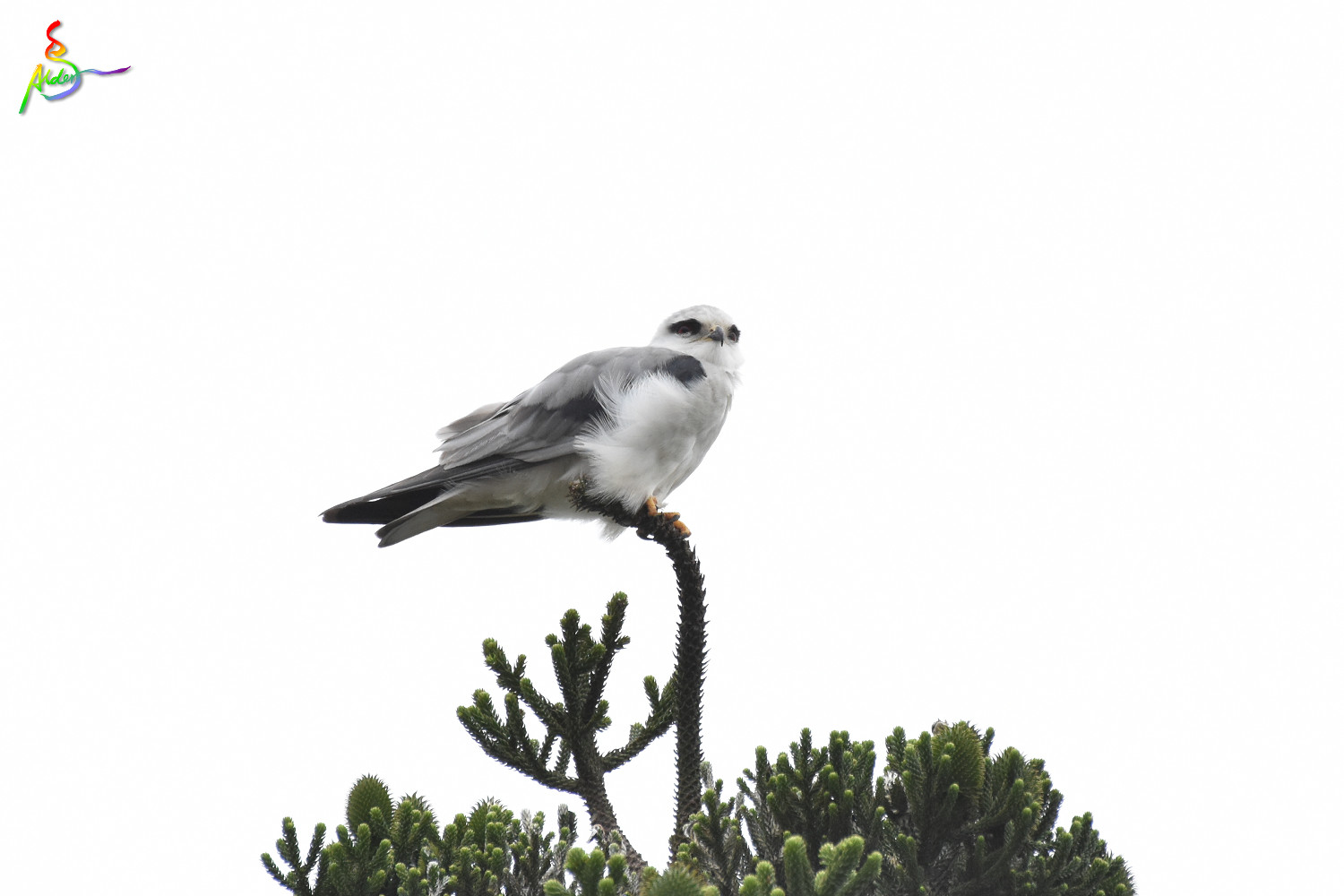 Black-winged_Kite_5145
